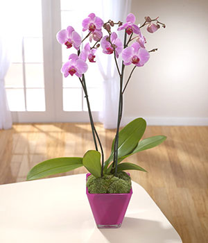 beautiful purple orchid delivered in cerise contai